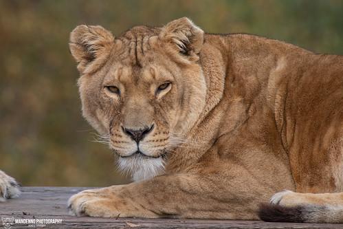 African Lioness - Safaripark Beekse Bergen