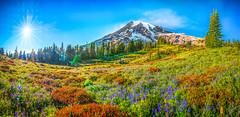 Mount Rainier National Park Spring Wildflower Lupine Superbloom Fine Art Fuji GFX100 Landscape Photography!  Dr. Elliot McGucken Master Medium Format Landscape Photography! Washington Spring Wild Flowers Fine Art Fuji GFX 100 & FUJIFILM FUJINON LM WR Lens