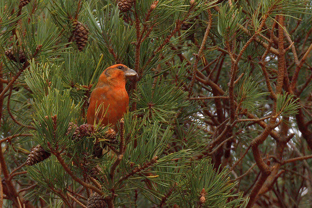 Photo:Common Crossbill (Loxia curvirostra) By tsbl2000