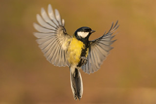 Great Tit with open wings