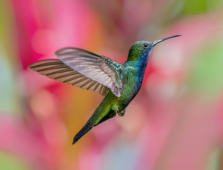 Black Throated Mango Hummingbird in flight, @esperanzaalta, Trinidad.