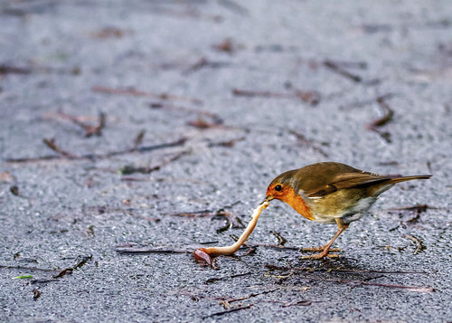 Robin with a Worm