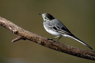 Motacilla alba - Bergeronnette grise