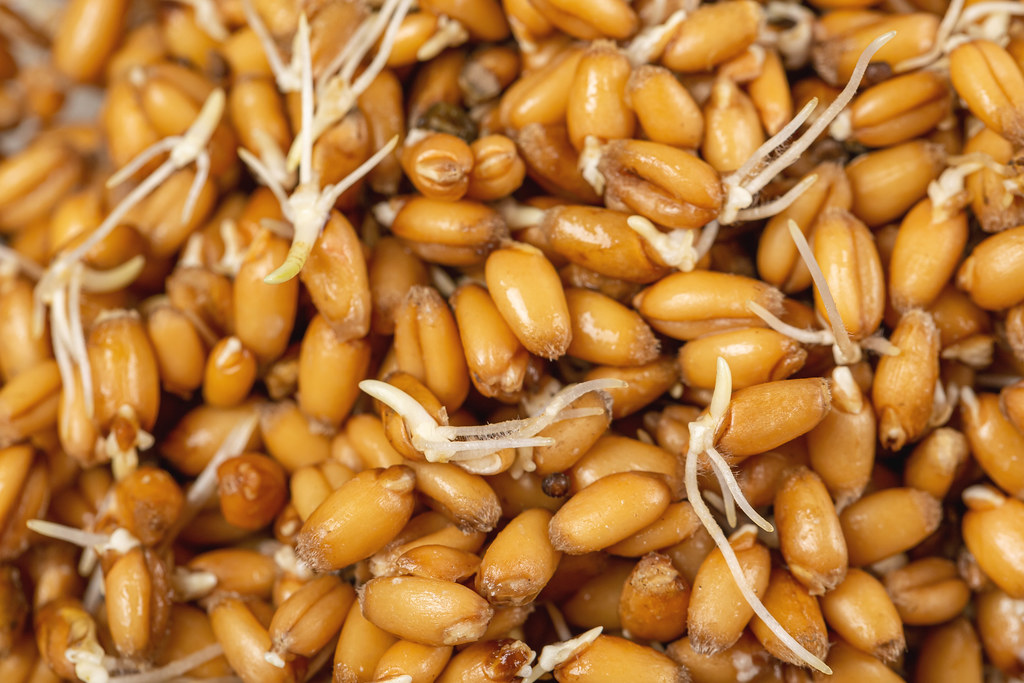 Raw sprouted wheat grains background