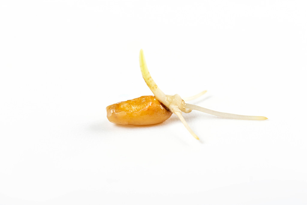 Sprouted wheat on a white background, close up