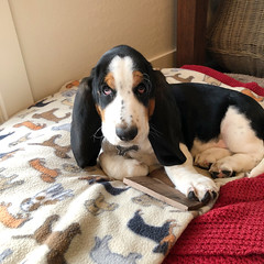 Gracie - The new Basset Hound