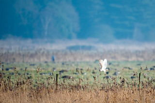 It doesn't matter how distant or how fleeting the view, a Barn Owl always sets my pulse racing 😊😊