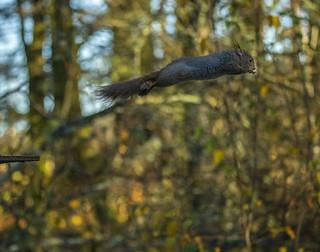 Ekorn - Sciurus vulgaris - Eurasian Red Squirrel - VJ7_8422