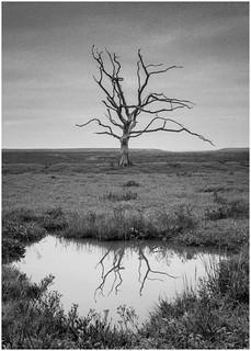 Lone Tree at Porlock Marsh