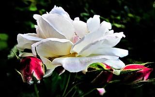 A.. notre Michelle* tu est la plus belle rose du Paradis