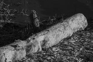 Beavers' sculpture