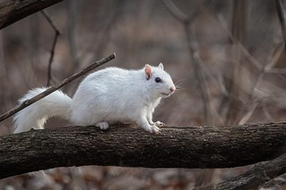 Écureuil Gris_tout blanc / Grey Squirrel_White.