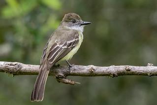 Pale-edged flycatcher -EXPLORED 04/12/2020-