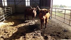 Vaches de Salers à l'étable