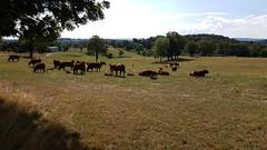 Vaches de Salers au pré