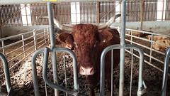 Vache de Salers à l'étable