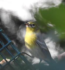 Dreamy Pine Warbler
