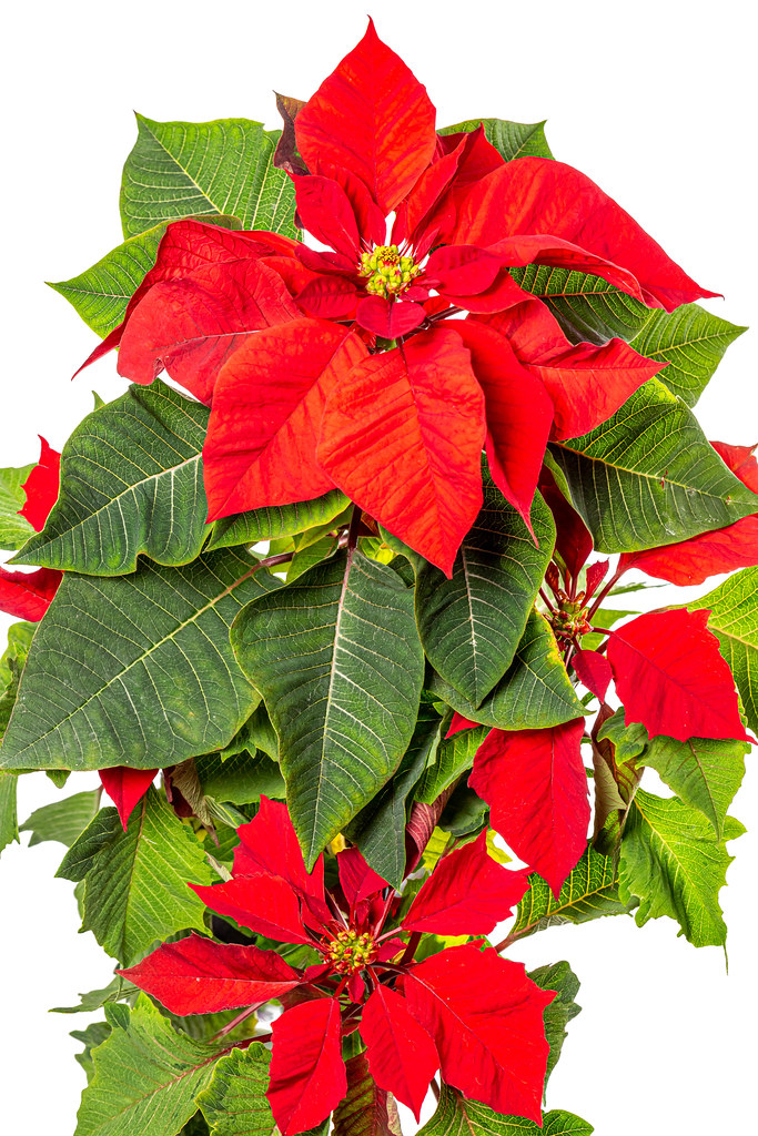 Beautiful poinsettia in flower pot, christmas flower