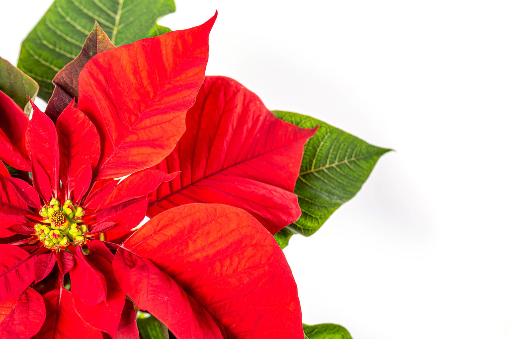 Closeup of red poinsettia flowers