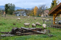 Moutons @ Saint-Laurent