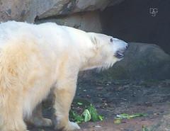 Polar Bear and.....Salad