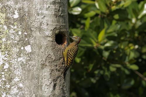 carpintero de La Española / Hispaniolan Woodpecker   (Melanerpes striatus)  carpintero_8038_Denoise2-
