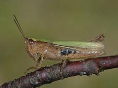 Chorthippus dorsatus female