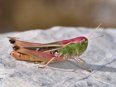 Stenobothrus lineatus female