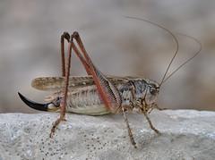 Platycleis albopunctata female - Photo of Peipin