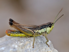 Pseudochorthippus parallelus male - Photo of Peipin