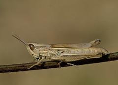 Euchorthippus elegantulus female