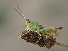 Pseudochorthippus parallelus male