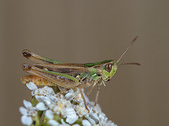 Stenobothrus stigmaticus male