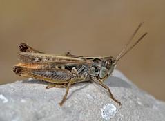 Omocestus haemorrhoidalis male