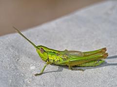 Euthystira brachyptera male - Photo of Peipin