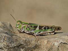 Oedalus decorus female