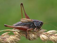 Metrioptera saussuriana