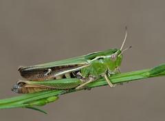 Stneobothrus lineatus female