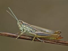 Euchorthippus pulvinatus male