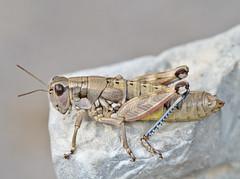Podisma amedegnatoae female