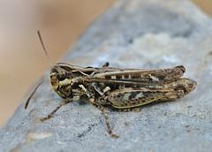 Myrmeleotattix maculatus female