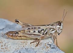 Stenobothrus nigromacultaus female - Photo of Peipin
