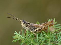 Chorthippus apricarius male