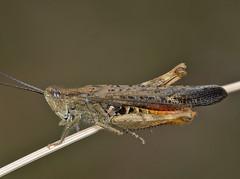 Chorthippus brunneus male