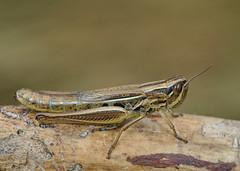 Euchorthippus pulvinatus female