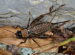 Nemobius sylvestris female