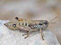 Podisma amedegnatoae female - Photo of Peipin