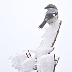 Great grey shrike, ťuhýk šedý, CZE, 2020