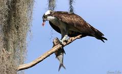 Hawks, Owls, Osprey, Eagles, Snail Kites, Kestrel and Caracaras
