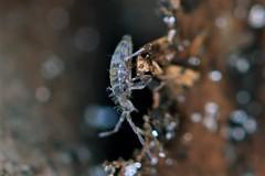 IMG_8584 Springtail - Homidia sauteri